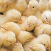Инкубирование яйца фото