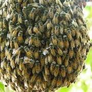 Пчелиные семьи, купить, продать, опт, розница фото