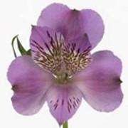 Срезанный цветок Альстромерия Monte Azzurro фото