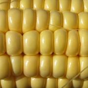 Закупка кукурузы фото