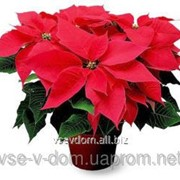 Пуансеттия, Рождественская звезда фото