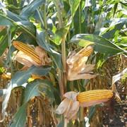 Среднеранний (ФАО 290), двойной межлинейный гибрид кукурузы фото