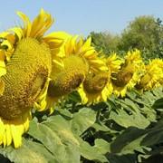 Семена подсолнечника гибрид Песма фото