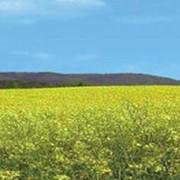 """Амарант """"УЛЬТРА"""" Сорт амаранта зерного типа. Занесенный в Реестр сортов растений Украины в 1998 году фото"""