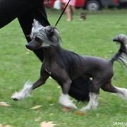 Кобель Китайской Хохлатой Собаки фото