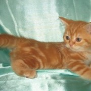 Британские котята красный мрамор фото