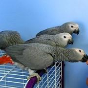 Ручные птенцы Жако фото