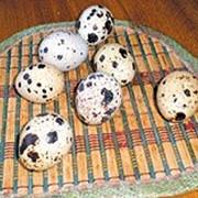 Яйца перепелиные (инкубационные) фото