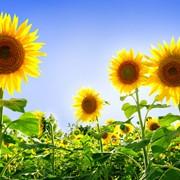 Семена подсолнуха посевные, подсолнух посевной фото