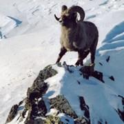Охота на бурого медведя, камчатского лося, снежного барана фото