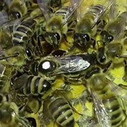 Матки пчелиные 2019 Бакфаст, Пешец, Тройзек, Элгон фото