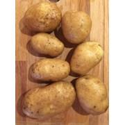 Картофель сорт Бриз, калибр 5+ фото