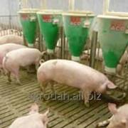 Кормовые автоматы для свиней на откорме фото