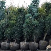 Посадка лиственных пород - сосны в Астане фото