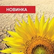 Семена подсолнуха Syngenta Босфора фото