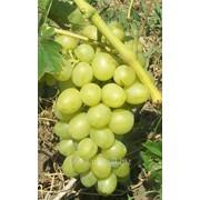 Виноград сорт Аркадия фото
