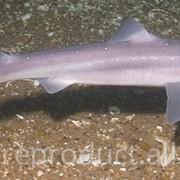Катран - акула черноморская фото