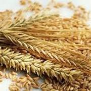 Культуры зерновые, пшеница фото