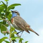 Певчие птицы фото