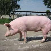 Комбикорм для свиней свыше 65 кг фото