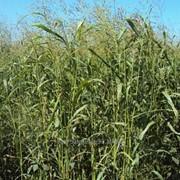 Семена травы Суданской сорт Кинельская 100 фото