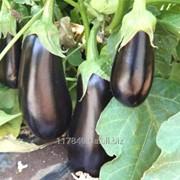 Семена баклажана, кол-во: 250 шт., производитель: Hazera Мадалена F1 фото