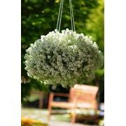 Семена цветов Алиссума Снежинка 100 шт. драже белый фото