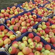 Продам Яблоки свежие из Молдавии фото