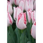 Луковицы тюльпанов из Голландии. фото