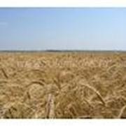 Пшеница фуражная 3 класс фото