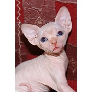 Котята канадского сфинкса фото