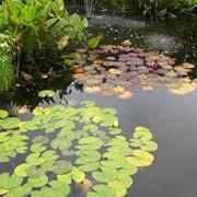 Водная архитектура: водные растения фото