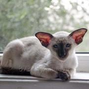 Породистый сиамский котенок из питомник фото