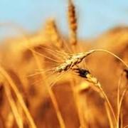 Пшеница обыкновенная фото