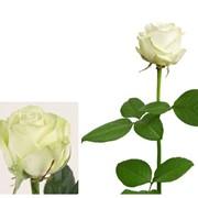 Роза белая Avalanche фото