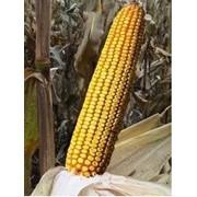 Семена Кукурузы Молдавских Гибридов фото