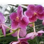 Ванды. Орхидеи в Украине, Киев оптом и в розницу.. фото