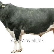 Семя быков-производителей геномно-оцененных фото