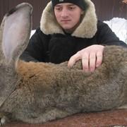 Продажа Племенных Кролики-Гиганты породы ФЛАНДР фото