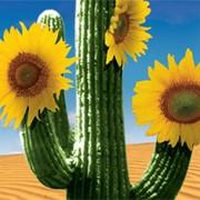 Семена подсолнечника сорт Санбро МР фото