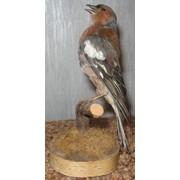 Чучела птиц фото