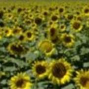 Жмых подсолнечный Украина фото