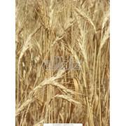 Пшеница посевная фото