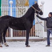 Лошадь Орловская рысистая фото