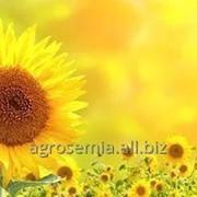 Семена гибридов подсолнечника Санай МР (Сингента) фото