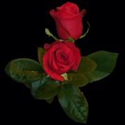 Роза Freedom 2 фото