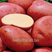 Картофель Ред фэнтези 1 репродукция фото