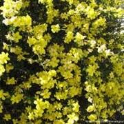 Жасмин желтый фото