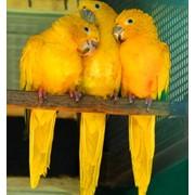 Птенцы - выкормыши Золотой аратинги из европейского питомника, окольцованные фото