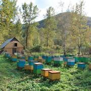 Пчелиный прополис фото